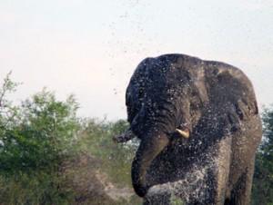Elephant spraying everything around him at Tremisana waterhole.