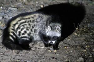 Civet seen scavenging at Viva Safaris' Marula Boma.