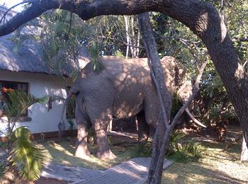 Elephant enjoying the juicy Strelizias inside Tremisana Lodge