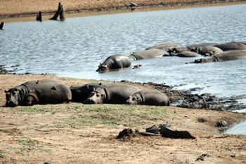 Hippo pod in dwindling water at Nsemane Dam