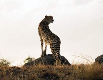 Excellent shot of Cheetah