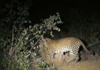 Leopard grabs hold of warthog on Sunset Drive