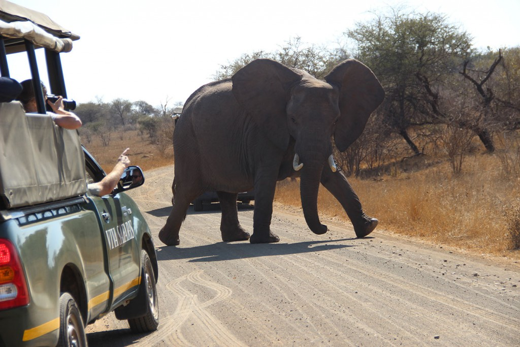 Elephant crosses in front of Viva Safaris clients