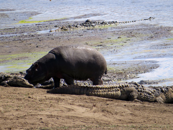 Hippo and crocs close by at Nsemane Dam.