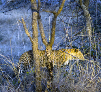Young female leopard gave us a fairy tale ending to a brilliant day.