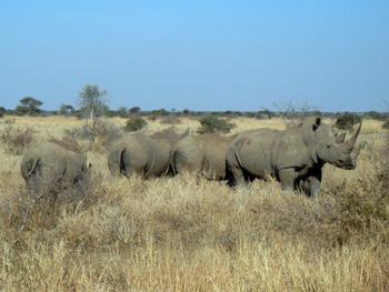 Herd of Rhino