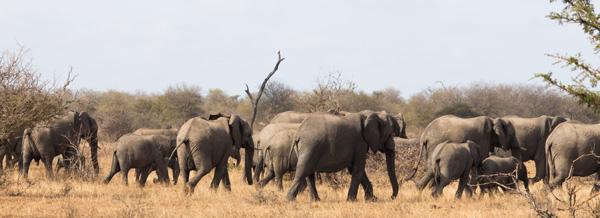 Large herd of elephants near Tremisana Lodge.
