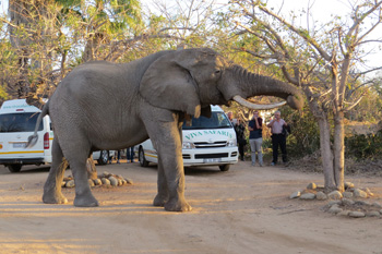Elephant at front gate of Tremisana Game Lodge