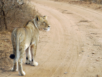 Young lioness near Tremisana Lodge