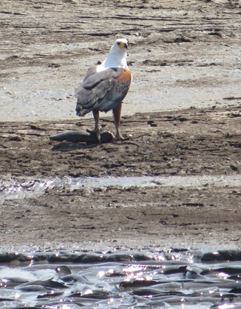 African Fish Eagle near catfish struggling in mud pool