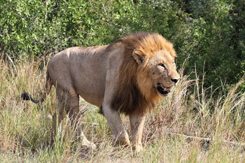 Big and beautiful lion