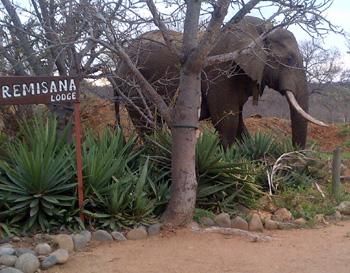 Elephant at Tremisana Lodge