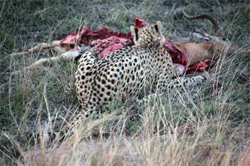 Cheetah with impala kill