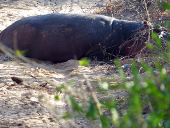 Hippo out of water along Olifants River
