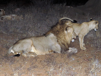 Great sighting of lions.