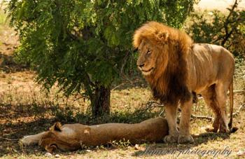 Lion and Lioness near Satara