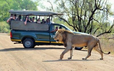 Great lion sighting