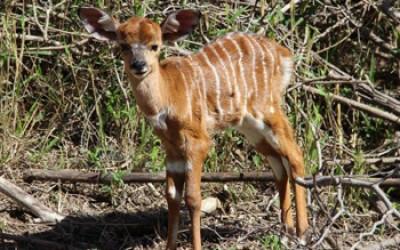 A baby Nyala.