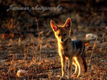 Cute jackal puppy.