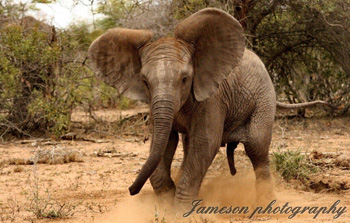 Baby elephant throwing a tantrum.