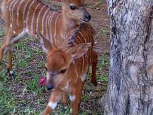 Young nyala lambs at swimming pool area.