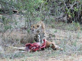 Cheetah and impala kill