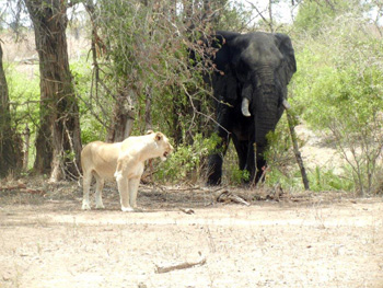Lioness and elephant share a water hole