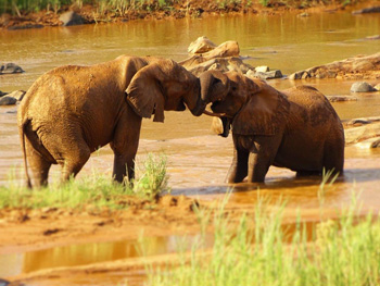 Elephants playing on the banks of the Olifants River