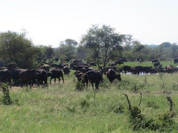 Large herd of buffalo.