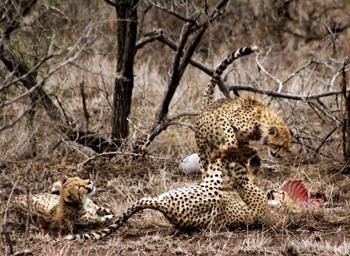 Cheetahs resting under a tree near the road.