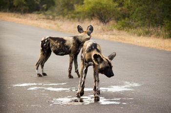 Wild Dogs on the road.