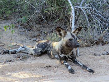 Good sighting of very rare Wild Dogs.