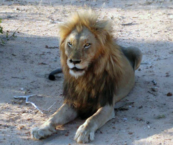 Good shot of Lion.