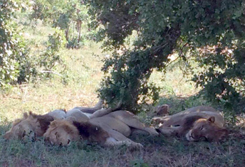 Lions resting in the shade.