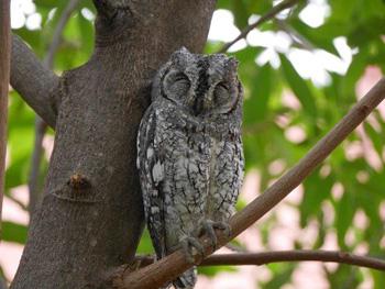 Scops Owl fast asleep in tree at Satara parking lot.