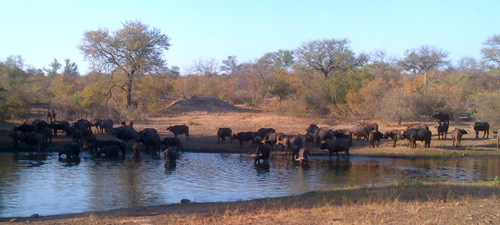 Buffalo herd at Tremisana Dam