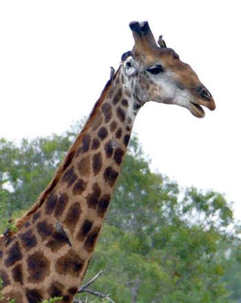 Giraffe seen on Bush Walk