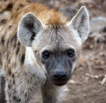 Hyena near our open vehicle.