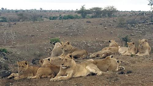 Lion pride near Tremisana Lodge