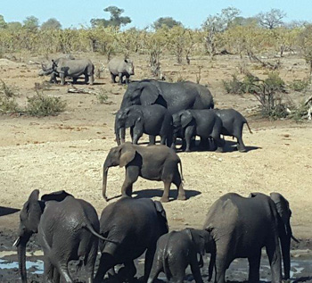 Elephant drink at dam while White Rhino wait patiently.
