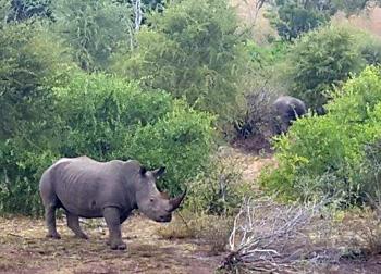 Rhino near Satara.