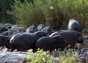 Sighting of Hippos on Olifants River during Bush Walk.