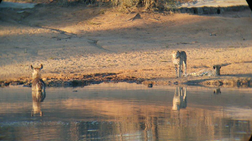 Cheetah chased Waterbuck into the safety of water.