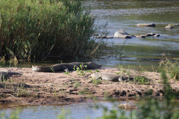 Crocodiles emerge from the Olifants River to bask in the sun.