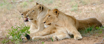 Lionesses watch intently