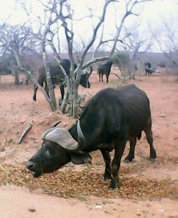 Buffalo showing stressed condition.