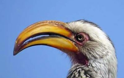 Yellow-billed hornbill.