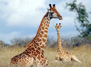 Close-up giraffe sighting.