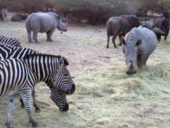 Zebra, White Rhino and Buffalo feeding on Lucerne at Kapama Game Reserve.