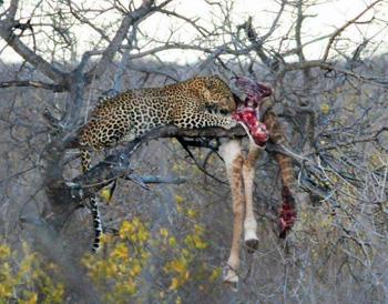 Leopard feeding on a Giraffe.